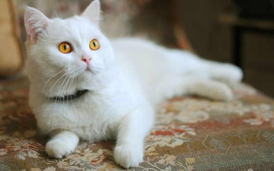 кошки, кот, характер, white, her, свой, оранжевый, пушистого, url,