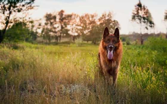 овчарка, немецкая, собака, друг, фотографий,