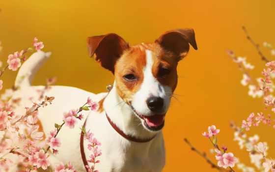 собака, companion,