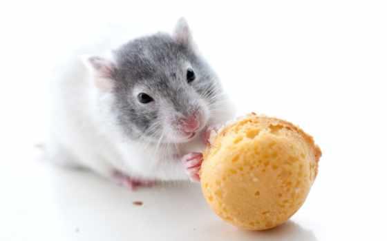 cookie, ест, крыса, zhivotnye, животных, card, фотографий, яndex, крысы, chuột,