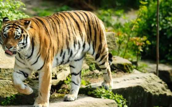 tiger, animal, fondos