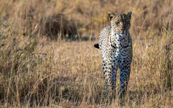 леопарды, африка, саванна