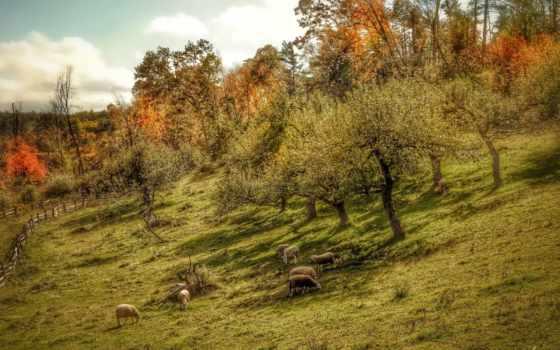 manzara, resimleri, овцы, trees, hill, пастбище, tapety, landscape, doga, пейзажи -,