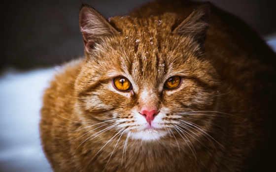 кот, браун, пушистик, усы, eyes,