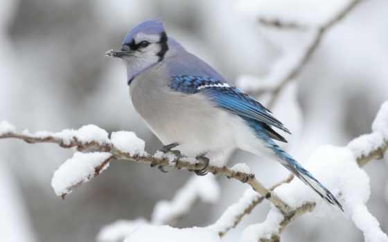 птицы, джей, голубая