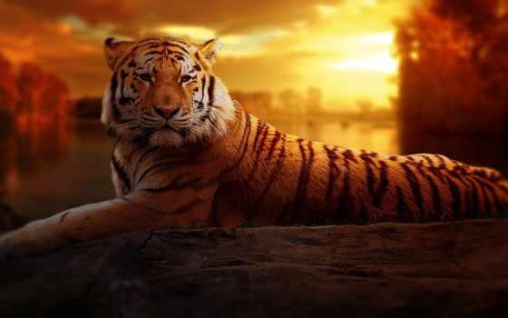 тигр, закат, portrait, print, ворона, animal