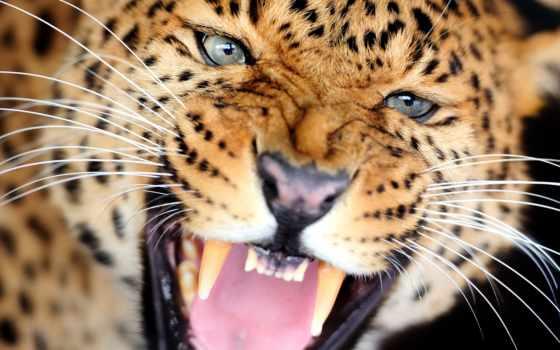 леопард, stock, posters