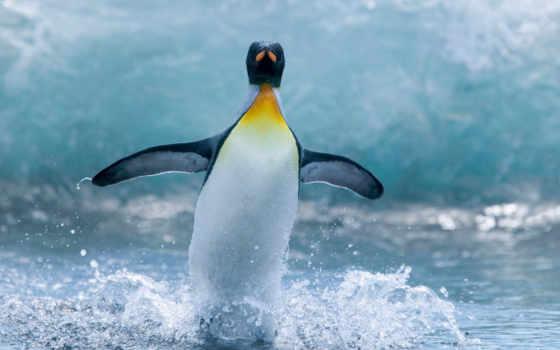 пингвин, брызги, water