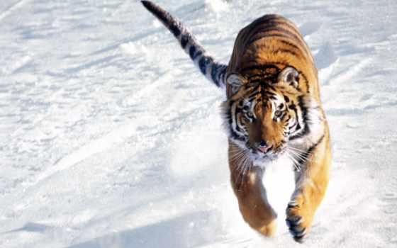 тигр, снегу, бежит