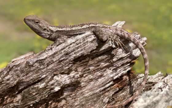 дракон, ящер, jacky, amphibolurus, habitat, дерево, muricatus, самцов,