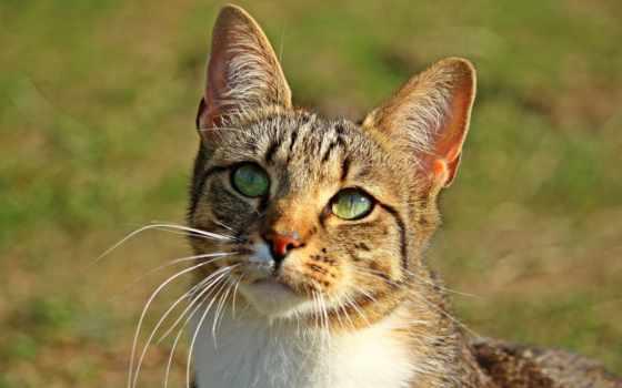 кот, mieze, кат, тигр, mackerel, котенок, portrait, gato, tigercat