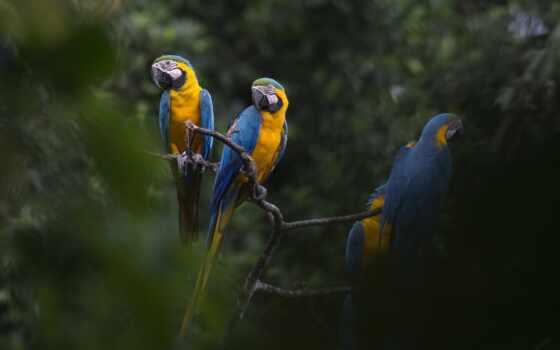 macaw, blue, попугай, ave, yellow, птица