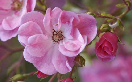 цветы, шиповник, розовые, бутоны, branch, рисунки, розовый,