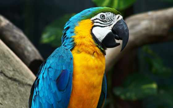 попугай, попугаи, ara, попугаев, amazon, птицы,