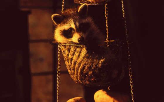 hanging, basket, raccoon, animals, картинку, чтобы, животными, коллекция,
