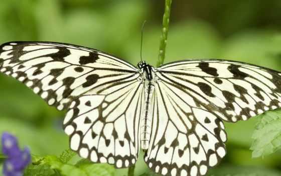 бабочка, insects, бабочка