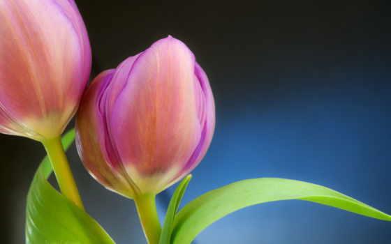 тюльпан, tulips, изображение, шишки, flowers, цветы,