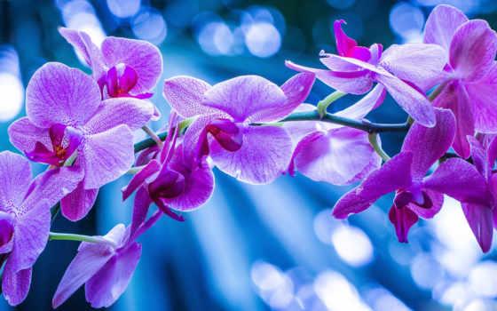 орхидеи, cvety, фиолетовые, орхидея, макро,