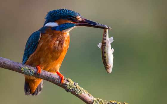птичка, птица, fish, catch, kingfisher, еда, золотая, ветке, funny, юмор,