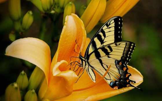 бабочка, лилии, black, yellow, картинка, free, фото, желтой, насекомое,