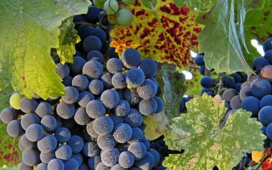 uvas, fondos, pantalla, gratis, variedades, fruta, las, galería, fotos,