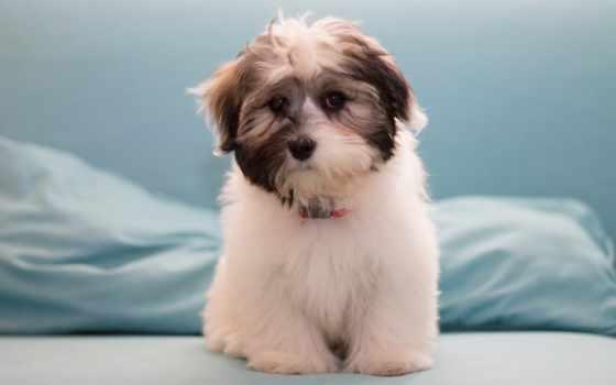 собака, zhivotnye, more, прочитать, качества, высокого, популярные, гаванский, бишон,