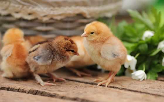 цыплята, zhivotnye, объявления, объявление, meat, master, grey, продам, породы, суточных, реализуем,
