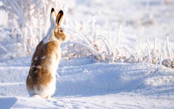 заяц, снег, winter, природа, зайцы