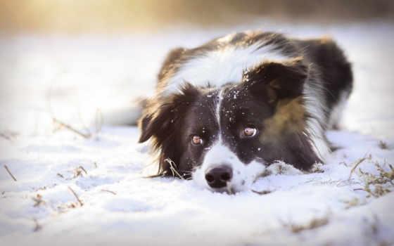 колли, border, собака, мая, картинка, winter