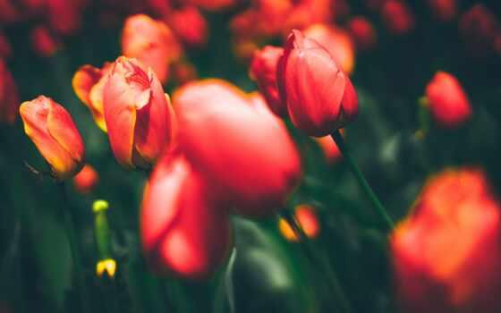 naturaleza, fondo, тюльпан, pantalla, цветы, цветок, art, город, мои, stambul, vsadnik