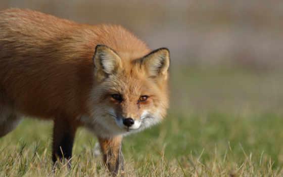 fox, pictures, марта