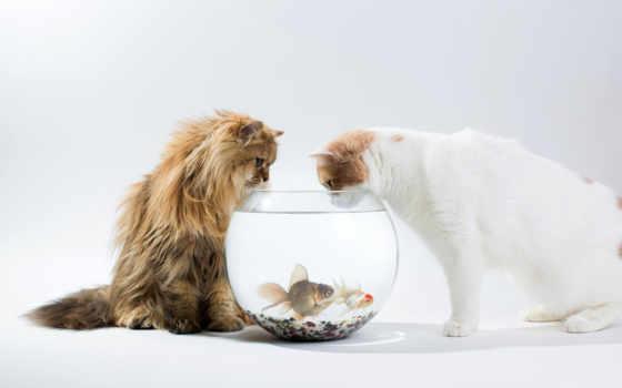 коты, рыбки, аквариум, белый,