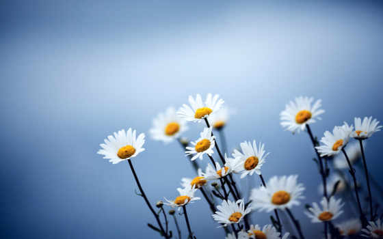 рождения, цветы, днем, ромашки,