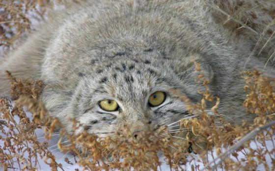 кот, манул, wild, name, honor, similar, янв, только, felis, палласов, манула, хищное, млекопитающее, размеру, семейства,