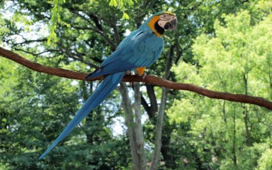 ara, попугаи, птица,