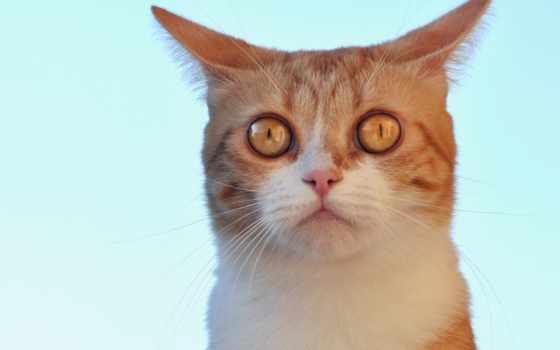 бирюзовый, кот, red, ушастик, взгляд, морда,