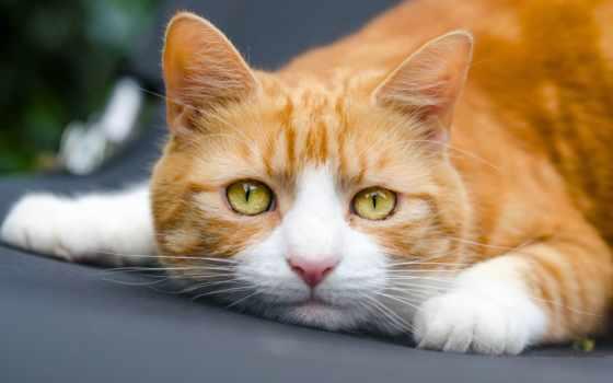 кот, кошки, red, разделе, котенок, играет, дек, yellow,