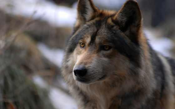 волк, fondos, lobo, animal, компьютер, iphone, desktop,