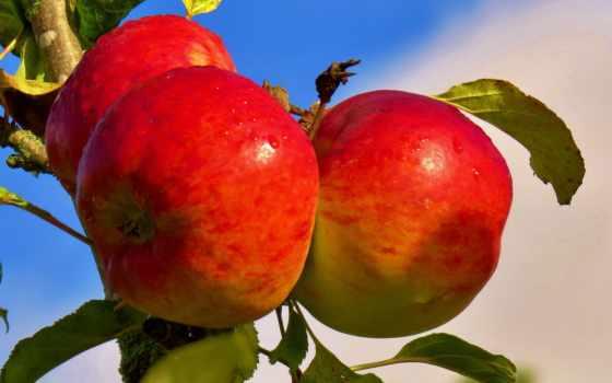 яблоки, branch, apples, благо, desktop, плод, ветке, дек, еда, parede,