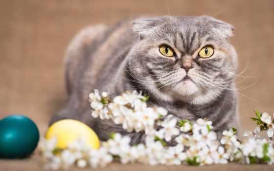 scottish, фолд, кот, cats, desktop, ears, кошки, eyes,
