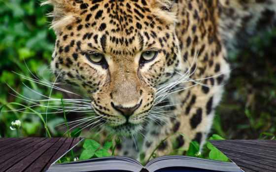 телефон, леопард, экран, планшетный, качество, кот, приложение, animal, установить, living, ноутбук