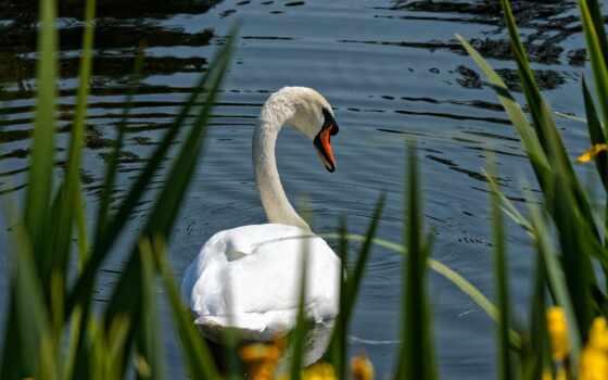 лебедь, gratis, white, ди, cisne, mute, ave, blanco, pixabay