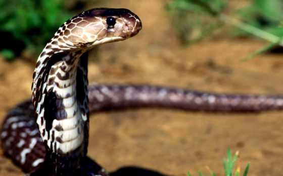 snake, змей, cobra, ядовитая, крокодил, zhivotnye, меткой, ядовитые, фотографий,