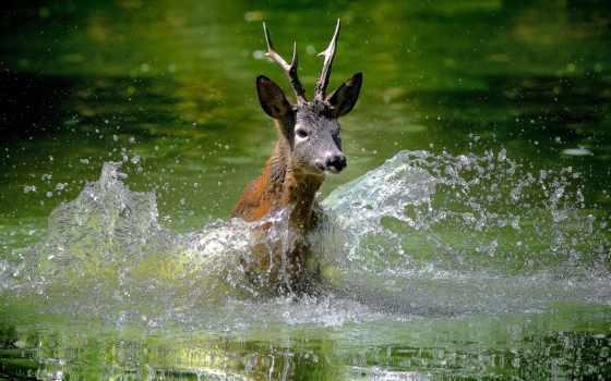 лань, молодой, оленей, рогами, скачет, животных, zhivotnye, воде, изображения, большими, лужайке,