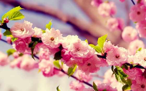 весна, branch, cvety, Сакура, красивейших, коллекция, цветение,