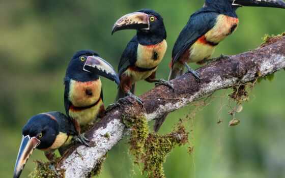 tukat, птица, клюв, animal, branch, arasar, рысь, тигр, семейка, filter