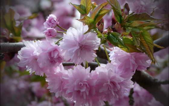 розовые, цветки, ветка