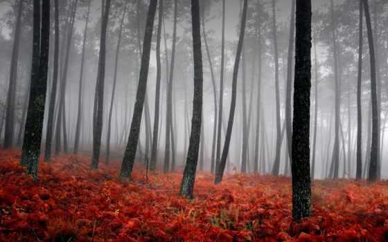 деревьев, лес, туман, trees, стволы, природа, ковёр, red, трава, дерево, осень,