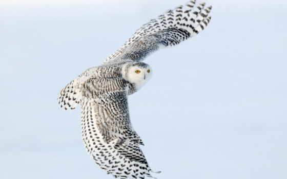 сова, animal, ночь, polar, guardian, user, птица, pinterest, смотреть, more