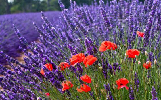 природа, cvety, lavender, поле, poppy